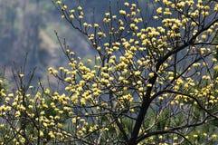Ανθίζοντας κίτρινα λουλούδια στο δέντρο σασαφράδων στοκ φωτογραφίες με δικαίωμα ελεύθερης χρήσης