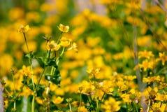Ανθίζοντας κίτρινα λουλούδια λιβαδιών Στοκ Εικόνες