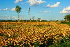 Ανθίζοντας κίτρινα λουλούδια Στοκ Φωτογραφία