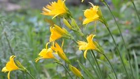 Ανθίζοντας κίτρινα daylilies Ηλιόλουστος καιρός, εκλεκτική εστίαση απόθεμα βίντεο