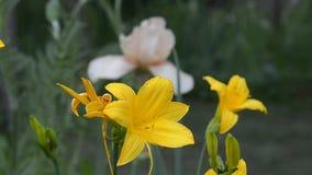 Ανθίζοντας κίτρινα daylilies Ηλιόλουστος καιρός, εκλεκτική εστίαση φιλμ μικρού μήκους