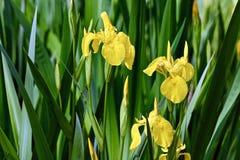Ανθίζοντας κίτρινες ίριδες με τα φρέσκα πράσινα φύλλα Στοκ Φωτογραφίες