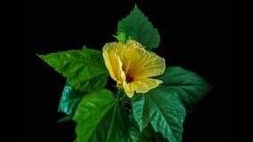 Ανθίζοντας κίτρινες hibiscus χρόνος-περιτυλίξεις, σε ένα μαύρο υπόβαθρο απόθεμα βίντεο