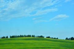 Ανθίζοντας κίτρινος τομέας με μια λουρίδα των δέντρων στον ορίζοντα με έναν μπλε ουρανό Στοκ εικόνα με δικαίωμα ελεύθερης χρήσης