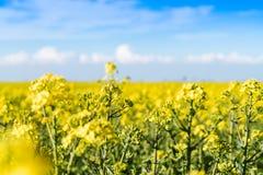 Ανθίζοντας κίτρινος τομέας συναπόσπορων στοκ φωτογραφία με δικαίωμα ελεύθερης χρήσης