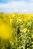 Ανθίζοντας κίτρινος τομέας συναπόσπορων στοκ φωτογραφία