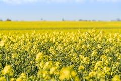 Ανθίζοντας κίτρινος τομέας συναπόσπορων στοκ εικόνα