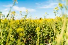 Ανθίζοντας κίτρινος τομέας συναπόσπορων στοκ φωτογραφίες με δικαίωμα ελεύθερης χρήσης