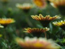 Ανθίζοντας κίτρινο λουλούδι από ένα μπροστινό yeard Στοκ Φωτογραφίες
