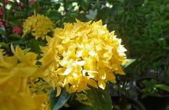 Ανθίζοντας κίτρινο λουλούδι Ixora στον κήπο στην Ταϊλάνδη Στοκ Εικόνες