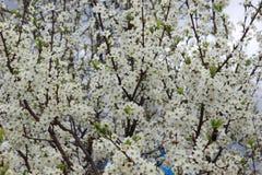 Ανθίζοντας κεράσι άνοιξη, άσπρη κινηματογράφηση σε πρώτο πλάνο λουλουδιών Στοκ φωτογραφίες με δικαίωμα ελεύθερης χρήσης