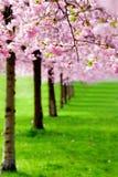 Ανθίζοντας κεράσι, δέντρα sakura Στοκ φωτογραφία με δικαίωμα ελεύθερης χρήσης