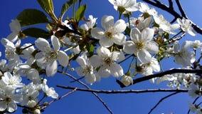 Ανθίζοντας κεράσι ενάντια στο μπλε ουρανό λευκό δέντρων λουλουδ&i Στοκ Φωτογραφίες