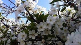 Ανθίζοντας κεράσι ενάντια στο μπλε ουρανό λευκό δέντρων λουλουδ&i Στοκ φωτογραφία με δικαίωμα ελεύθερης χρήσης