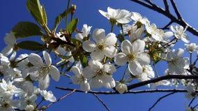 Ανθίζοντας κεράσι ενάντια στο μπλε ουρανό λευκό δέντρων λουλουδ&i Στοκ εικόνα με δικαίωμα ελεύθερης χρήσης