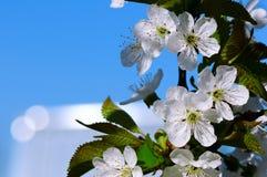 Ανθίζοντας κεράσι ενάντια στο μπλε ουρανό Στοκ εικόνες με δικαίωμα ελεύθερης χρήσης