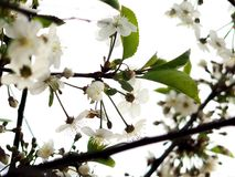 Ανθίζοντας κεράσι και δέντρα της Apple την άνοιξη, το διάστημα για το κείμενο, χαιρετισμοί την ευτυχή ημέρα γυναικών ` s Στοκ Φωτογραφίες