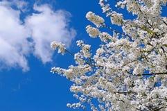 Ανθίζοντας κεράσι και μπλε ουρανός Στοκ φωτογραφίες με δικαίωμα ελεύθερης χρήσης