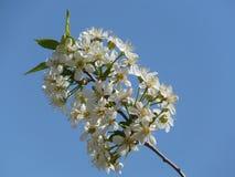 Ανθίζοντας κεράσι λουλουδιών κερασιών άσπρο Στοκ φωτογραφία με δικαίωμα ελεύθερης χρήσης