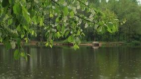 Ανθίζοντας κεράσι πουλιών ενάντια του ποταμού Στοκ εικόνα με δικαίωμα ελεύθερης χρήσης