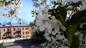 Ανθίζοντας κεράσι στο παλαιό σπίτι λευκό δέντρων λουλουδ&i Στοκ Εικόνα
