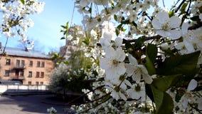Ανθίζοντας κεράσι στο παλαιό σπίτι λευκό δέντρων λουλουδ&i Στοκ Εικόνες