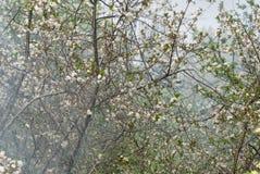 Ανθίζοντας κεράσι την άνοιξη στον κήπο ενάντια στο backgrou Στοκ Φωτογραφία