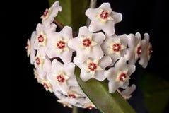 Ανθίζοντας κερί κισσών. Δασύτριχα λουλούδια. Στοκ εικόνα με δικαίωμα ελεύθερης χρήσης