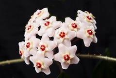 Ανθίζοντας κερί κισσών. Δασύτριχα λουλούδια. Στοκ φωτογραφίες με δικαίωμα ελεύθερης χρήσης