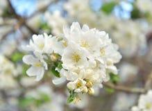 Ανθίζοντας κινηματογράφηση σε πρώτο πλάνο δέντρων μηλιάς Στοκ φωτογραφία με δικαίωμα ελεύθερης χρήσης