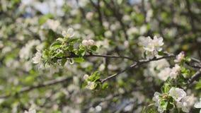 Ανθίζοντας κλάδοι δέντρων απόθεμα βίντεο
