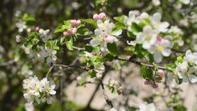 Ανθίζοντας κλάδοι δέντρων φιλμ μικρού μήκους