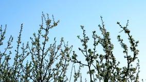 Ανθίζοντας κλάδοι δέντρων με το λουλούδι του άσπρου χρώματος Ταλάντευση στον αέρα απόθεμα βίντεο