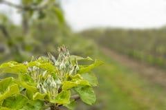 Ανθίζοντας κλάδοι μήλων Στοκ φωτογραφία με δικαίωμα ελεύθερης χρήσης