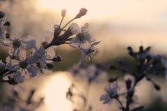 Ανθίζοντας κλάδοι της Apple στο ηλιοβασίλεμα στη φυσική φυσική κινηματογράφηση σε πρώτο πλάνο περιβάλλοντος Στοκ φωτογραφίες με δικαίωμα ελεύθερης χρήσης
