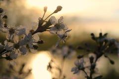Ανθίζοντας κλάδοι της Apple στο ηλιοβασίλεμα στη φυσική φυσική κινηματογράφηση σε πρώτο πλάνο περιβάλλοντος Στοκ φωτογραφία με δικαίωμα ελεύθερης χρήσης