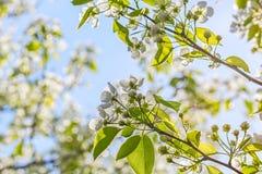 Ανθίζοντας κλάδοι του αχλάδι-δέντρου σε έναν κήπο άνοιξη, backlight Στοκ Φωτογραφία