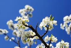 Ανθίζοντας κλάδοι του δέντρου της Apple ενάντια στον ουρανό Στοκ Φωτογραφίες