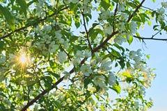 Ανθίζοντας κλάδοι του δέντρου της Apple και του ήλιου Στοκ Φωτογραφίες