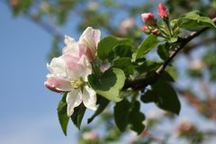 Ανθίζοντας κλάδος δέντρων μηλιάς ηλιόλουστο ημερησίως άνοιξη Στοκ Φωτογραφία
