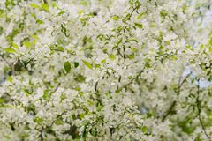 Ανθίζοντας κλάδος δέντρων μηλιάς την άνοιξη Στοκ εικόνα με δικαίωμα ελεύθερης χρήσης