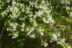 Ανθίζοντας κλάδος δέντρων μηλιάς την άνοιξη Στοκ φωτογραφίες με δικαίωμα ελεύθερης χρήσης