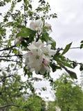 Ανθίζοντας κλάδος του δέντρου κάστανων Στοκ εικόνες με δικαίωμα ελεύθερης χρήσης