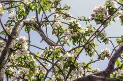 Ανθίζοντας κορώνα του παλαιού δέντρου της Apple Στοκ Εικόνες