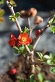 Ανθίζοντας κυδώνι Hollandia στοκ εικόνα με δικαίωμα ελεύθερης χρήσης