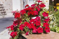 Ανθίζοντας κόκκινα λουλούδια πετουνιών - κινηματογράφηση σε πρώτο πλάνο Στοκ Εικόνες