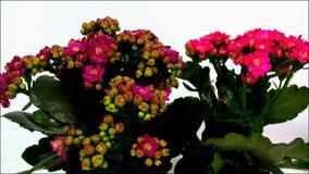 Ανθίζοντας κόκκινοι οφθαλμοί λουλουδιών tsmall απόθεμα βίντεο