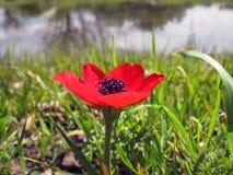 Ανθίζοντας κόκκινο λουλούδι με το πράσινες λιβάδι και τη λίμνη, Ισραήλ στοκ φωτογραφία με δικαίωμα ελεύθερης χρήσης
