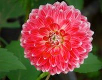 Ανθίζοντας κόκκινο λουλούδι νταλιών στον κήπο με το πράσινο υπόβαθρο φύλλων στοκ φωτογραφίες με δικαίωμα ελεύθερης χρήσης