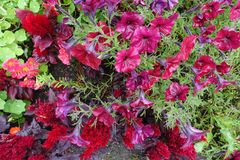 Ανθίζοντας ανθίζοντας κόκκινο υπόβαθρο λουλουδιών Στοκ Εικόνα